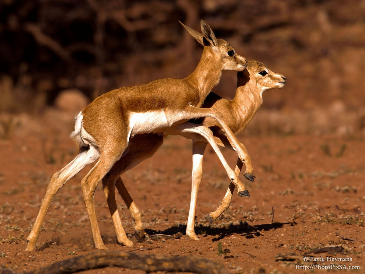 Two Sprinbok babies playing