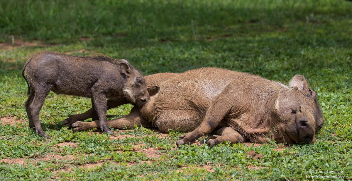 Warthog baby drinking from mom