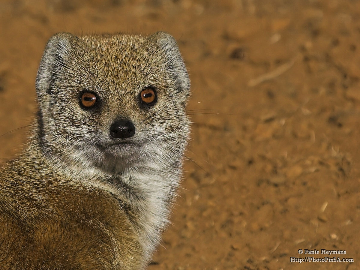 Yellow tailed Mongoose Portrait