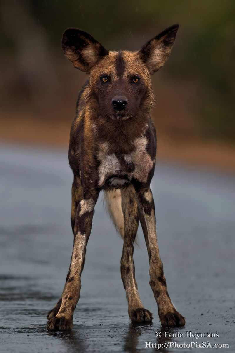 African Wild dog staring at the camera