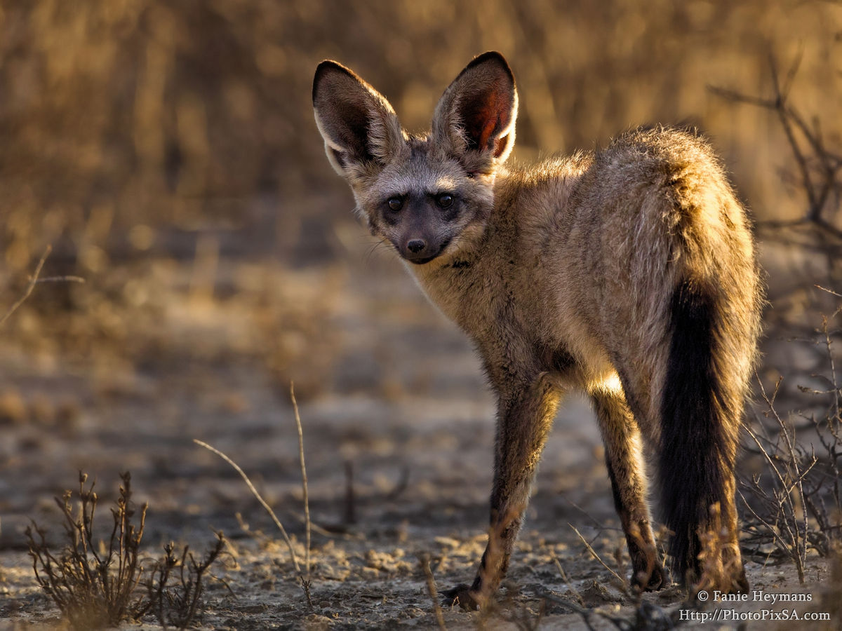 Bat-eared Fox last look back