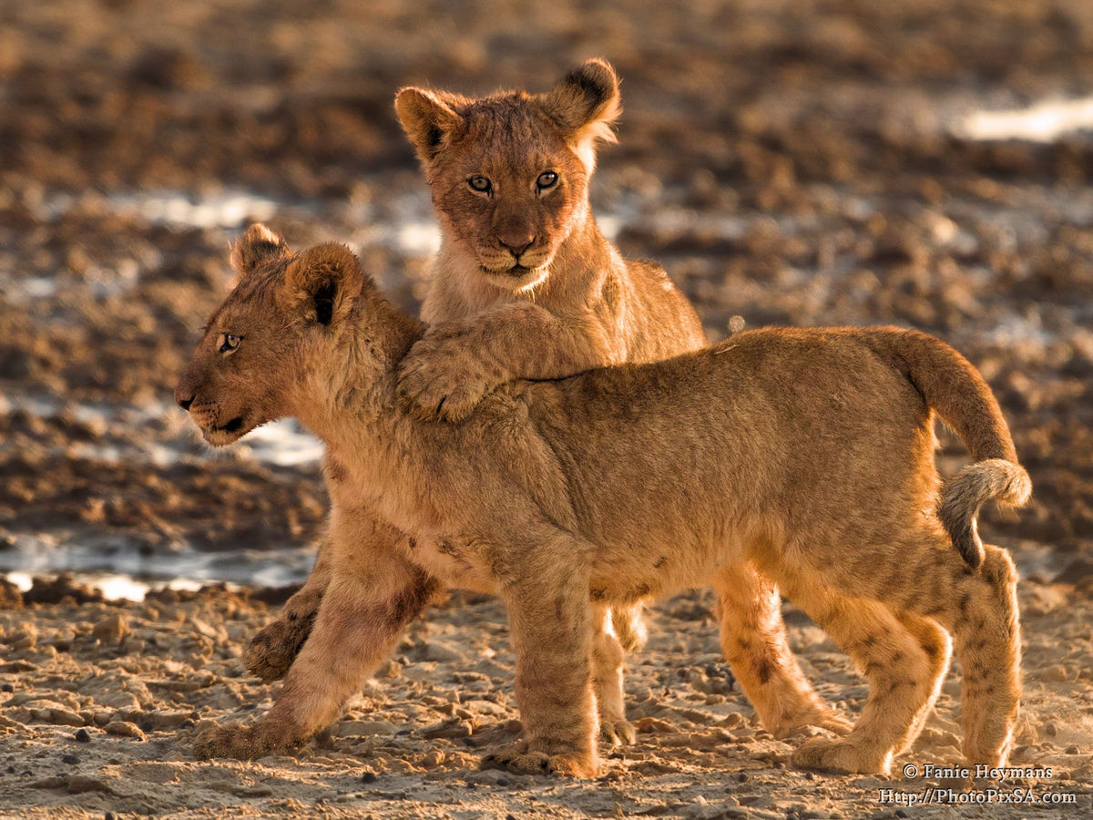 lion-cub-playing-brother