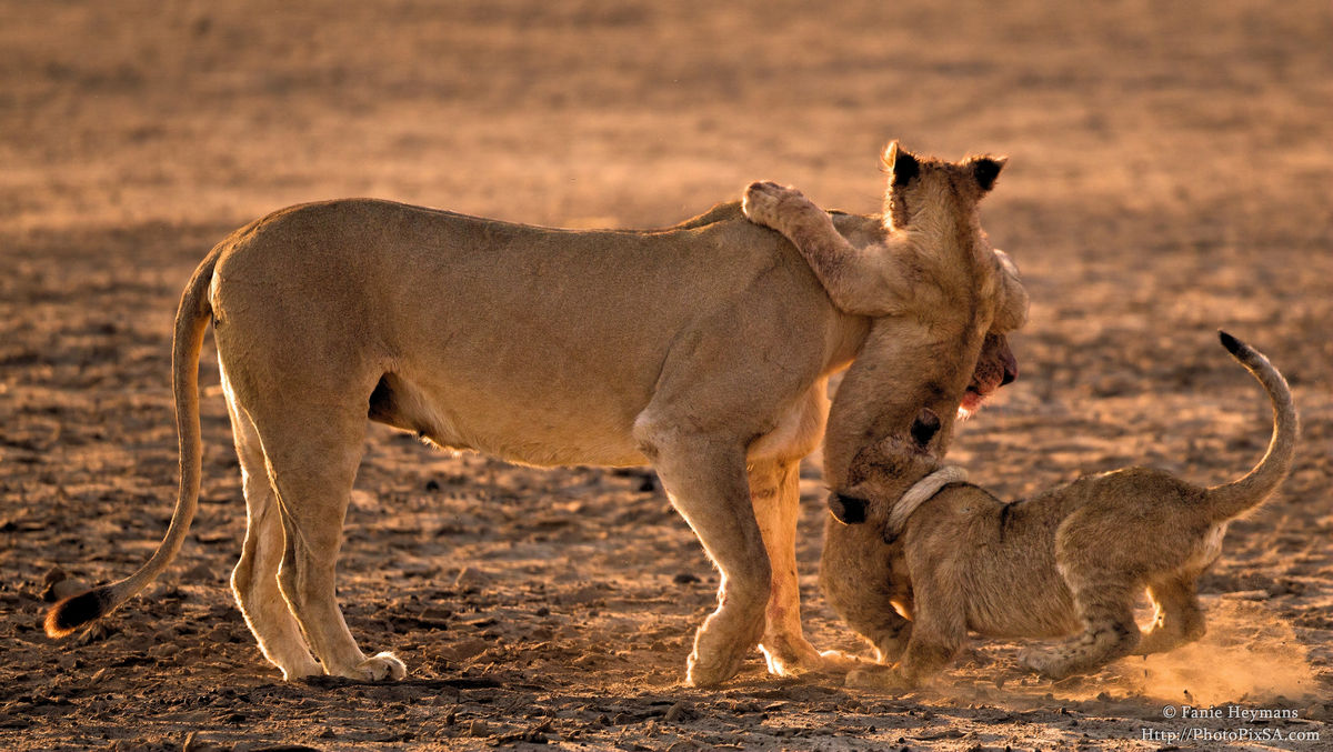 Lion cubs in a playfull mood with Lioness