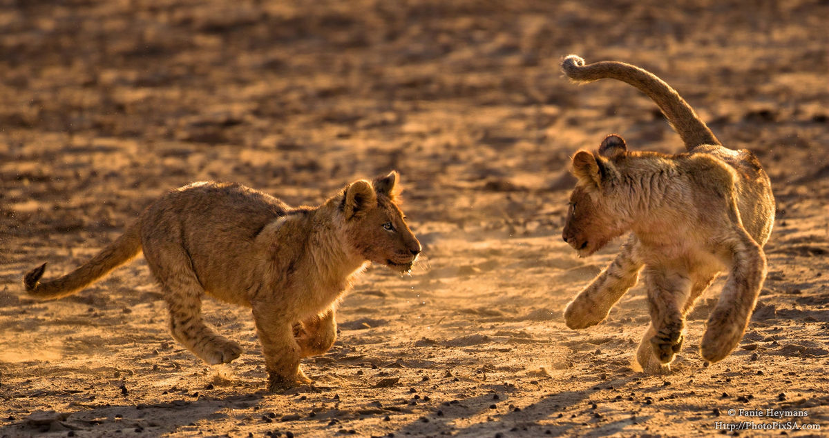 lion-cubs-playing-wildlife