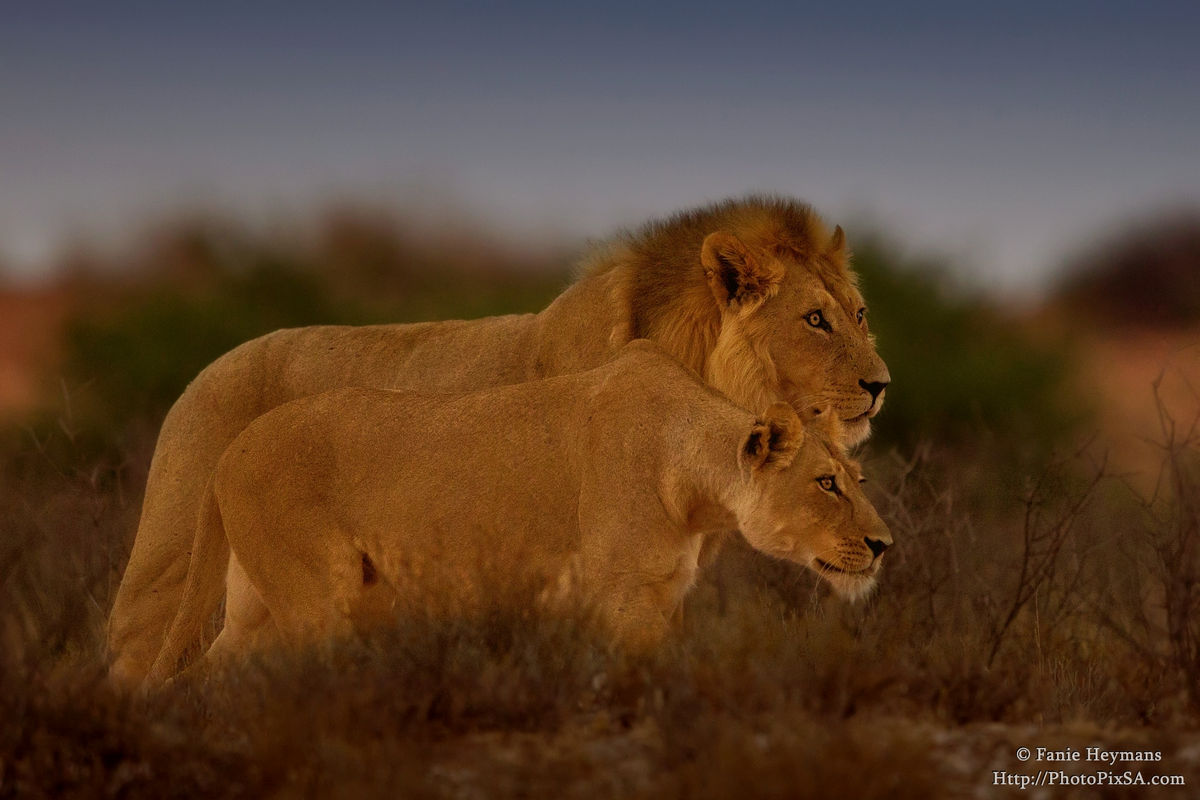 Lion and Lioness stalking their prey
