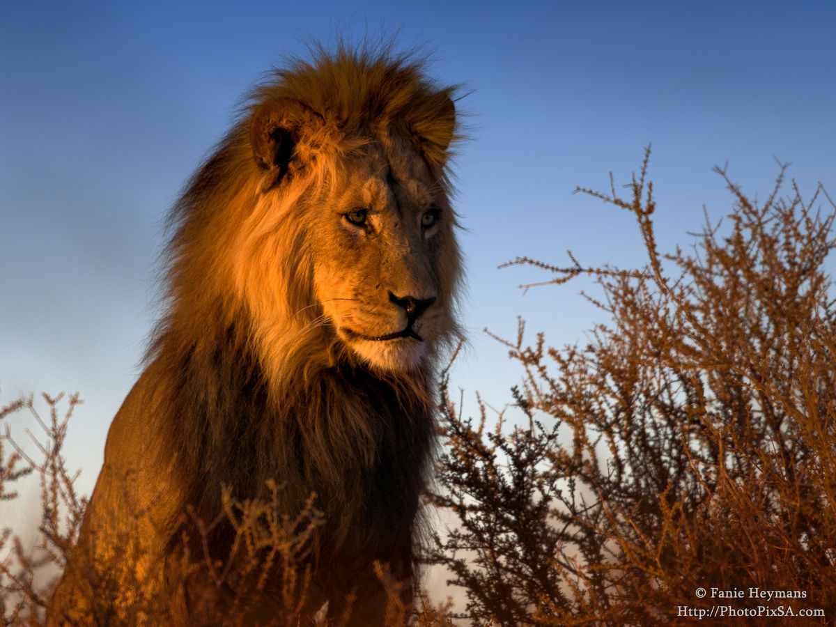 Lion male looking down on the dry river bed