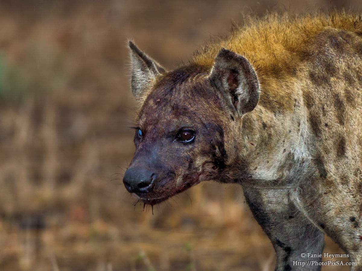 One Eye Spotted Hyena with blood face