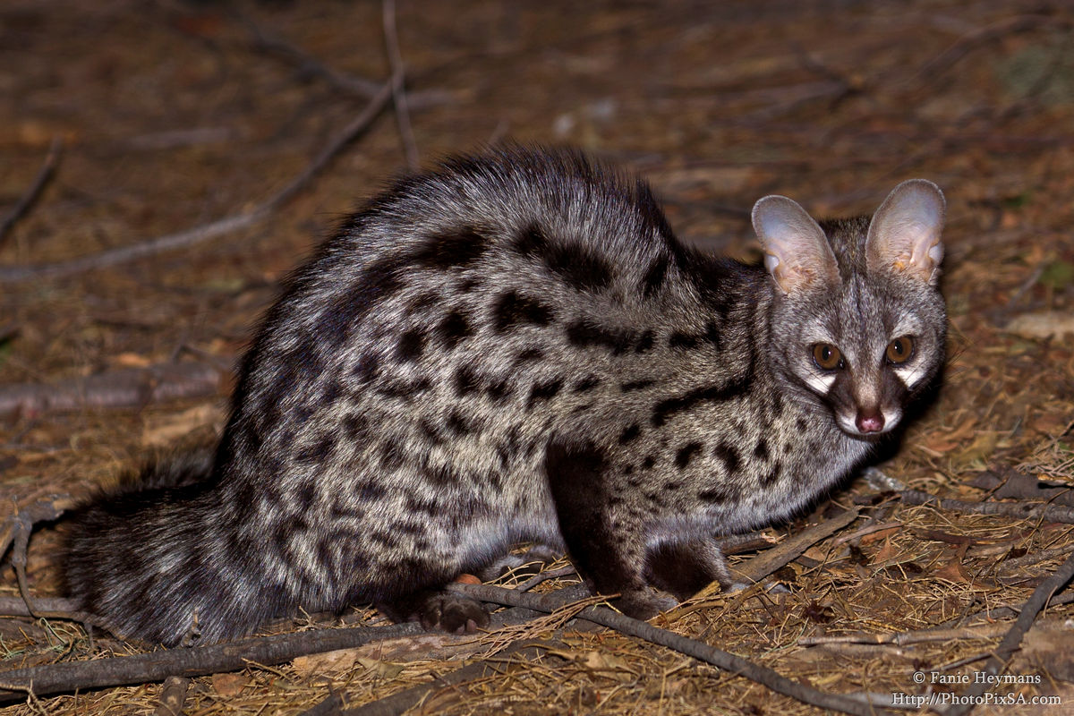 Spotted Genet at Richterveld Africa
