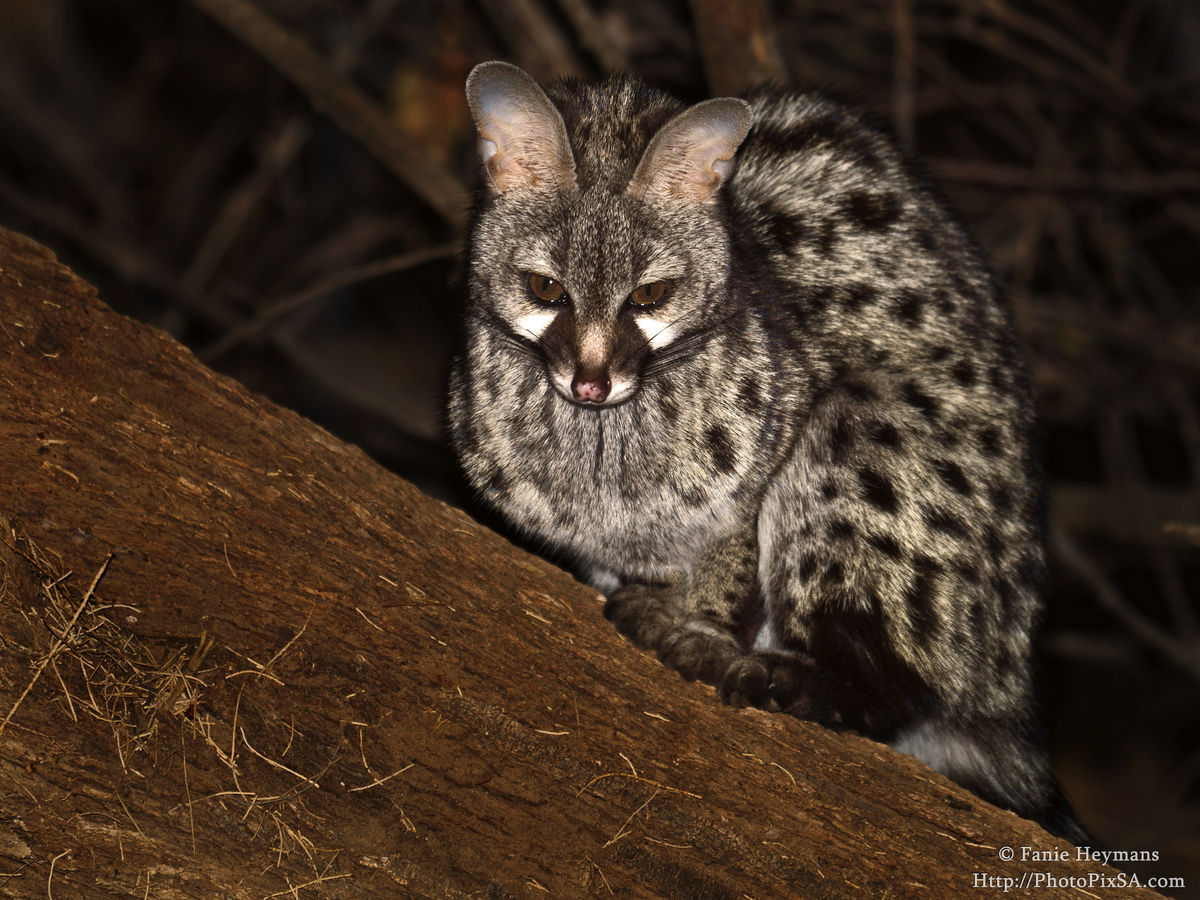 Spotted Genet on a tree