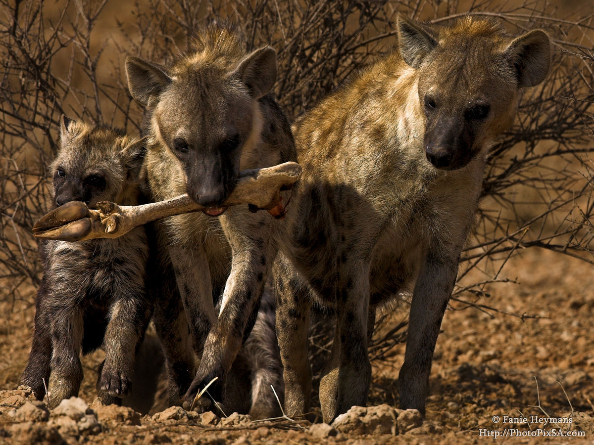 Spotted Hyena Family with antelope bone
