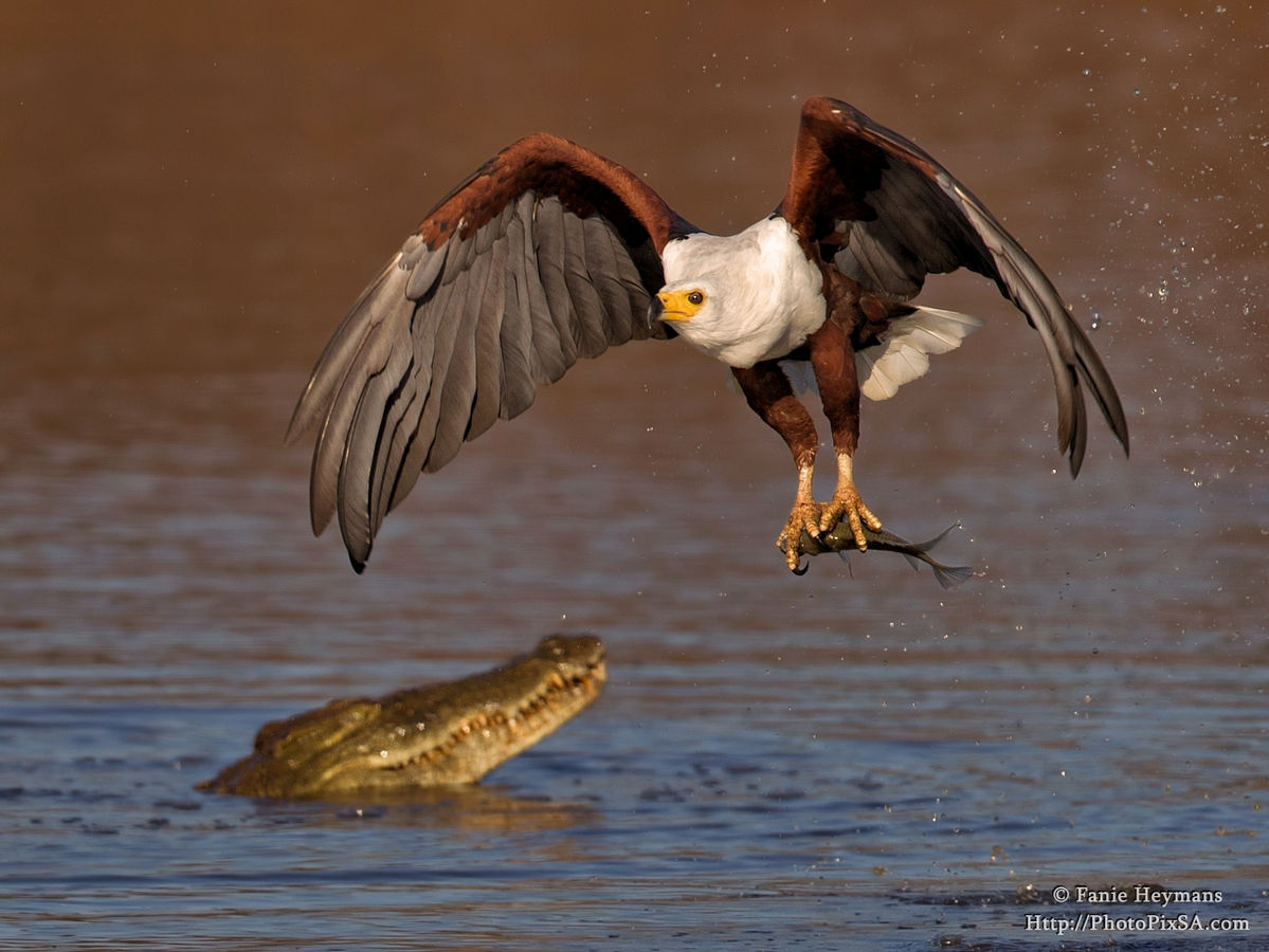 African Fish Eagle catching a fish