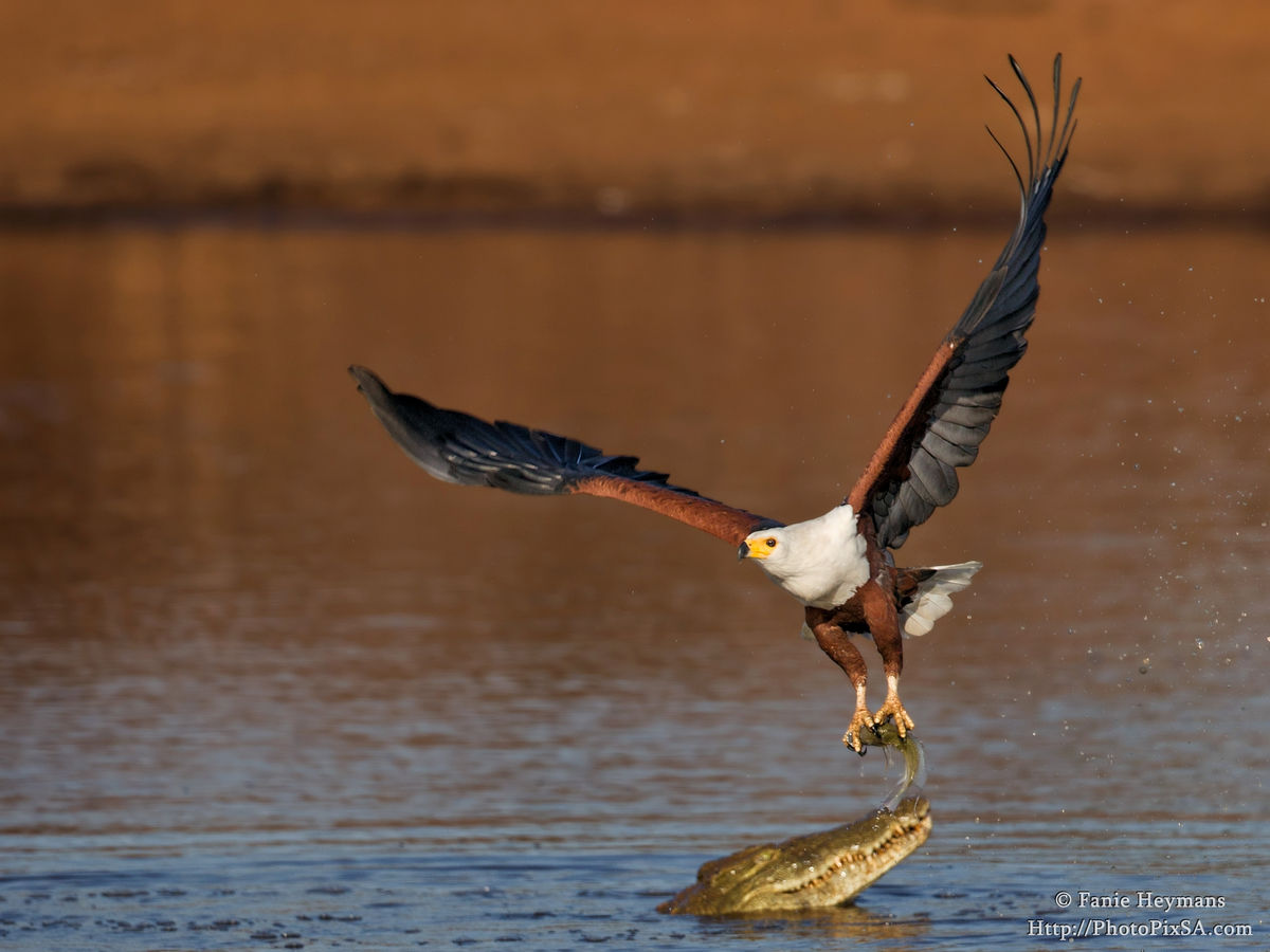 African Fish Eagle stealing fish from crocodile