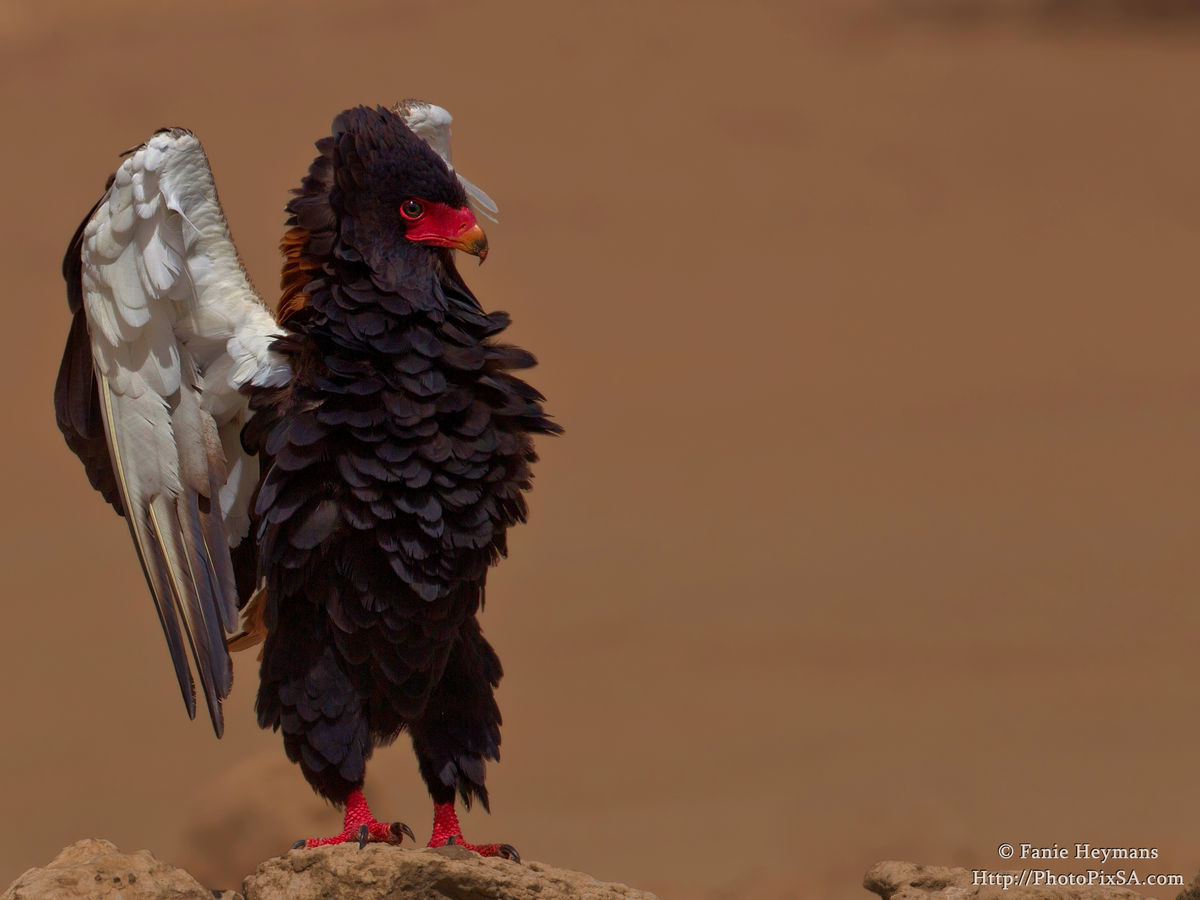 Bateleur eagle courting
