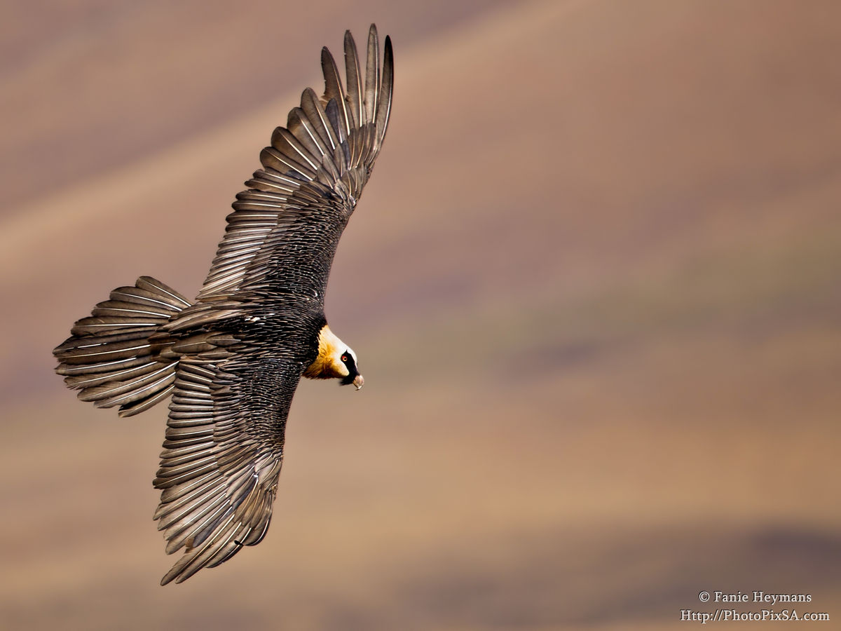 Bearded Vulture with spread Wings