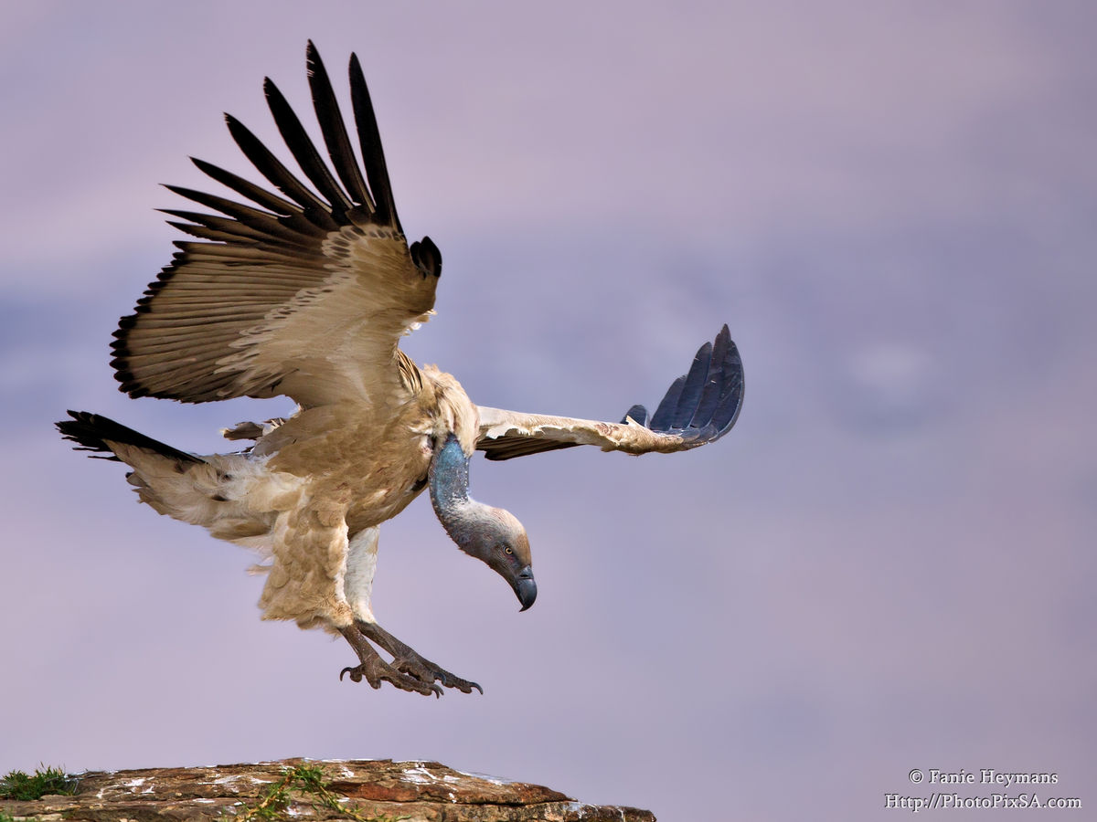 Cape Vulture Landing on rock