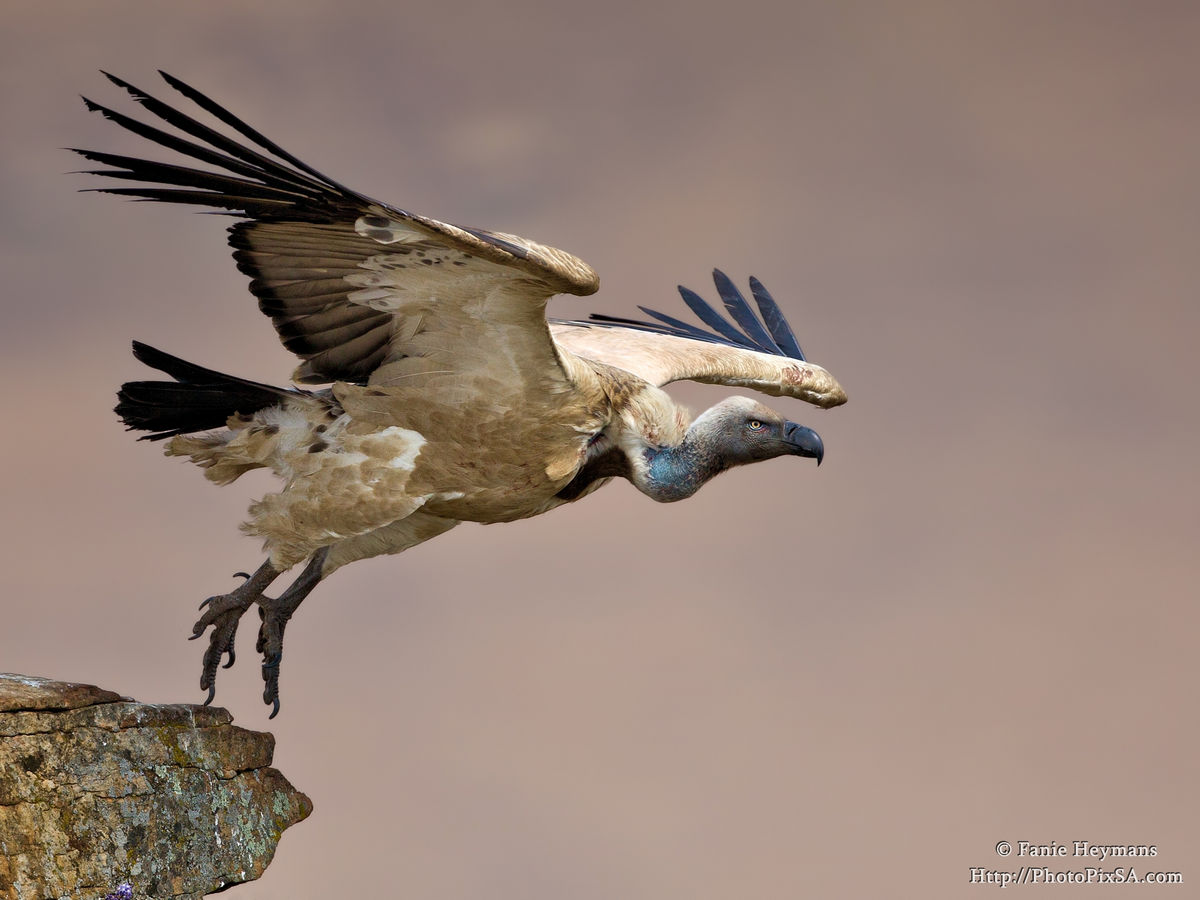 Cape Vulture Takeoff from mountain slope