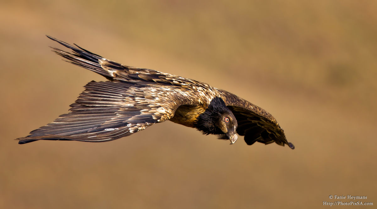 Juvenile Bearded Vulture gliding in the mountains
