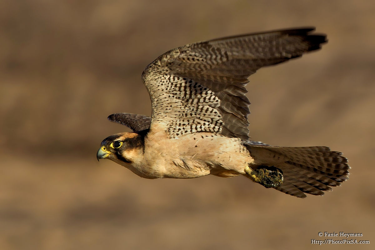 Lanner Falcon Fly-by Cubitjie Quap