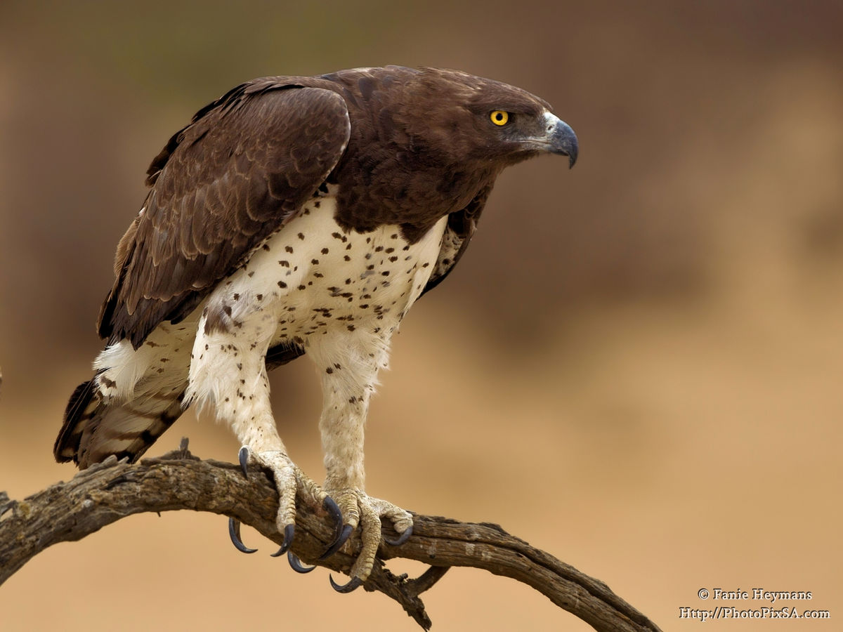 Martial Eagle at Nossob