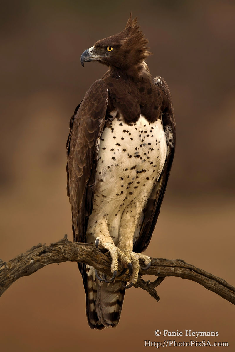 Martial Eagle on a perch