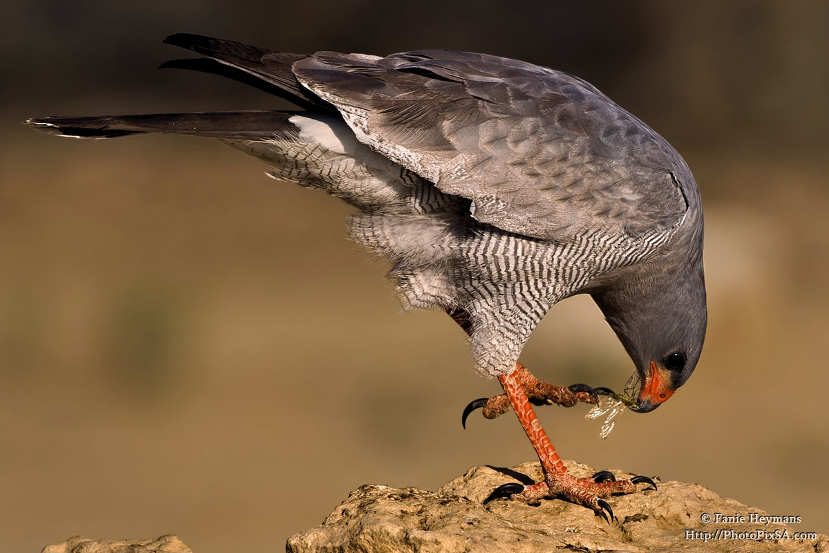 Pale Chanting Goshawk eating an insect
