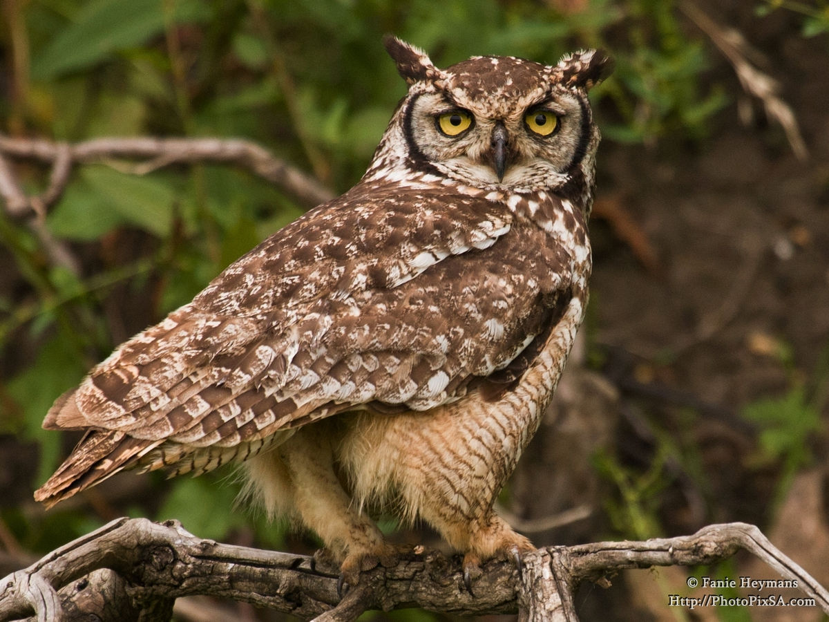 Spotted Eagle-Owl on branch
