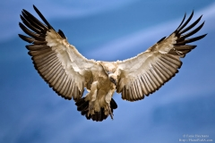 cape-vulture-spread-wings