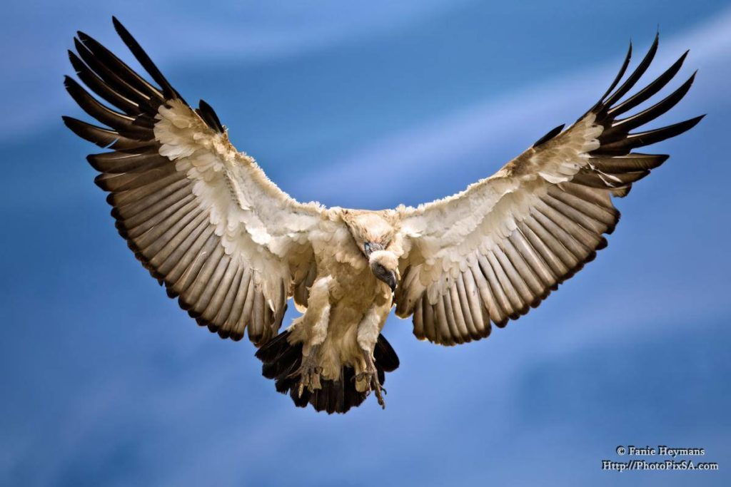 Cape-Vulture-Spreaded-Wings-1024x683.jpg