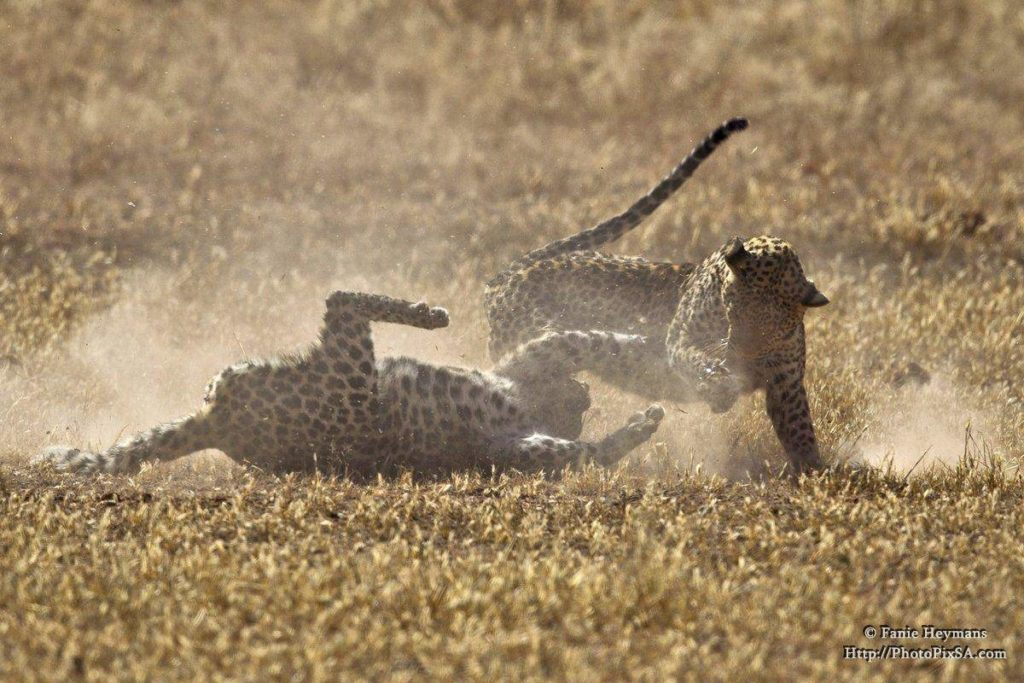vicious-leopard-fight-with-a-lot-of-dust-and-action-1024x683.jpg