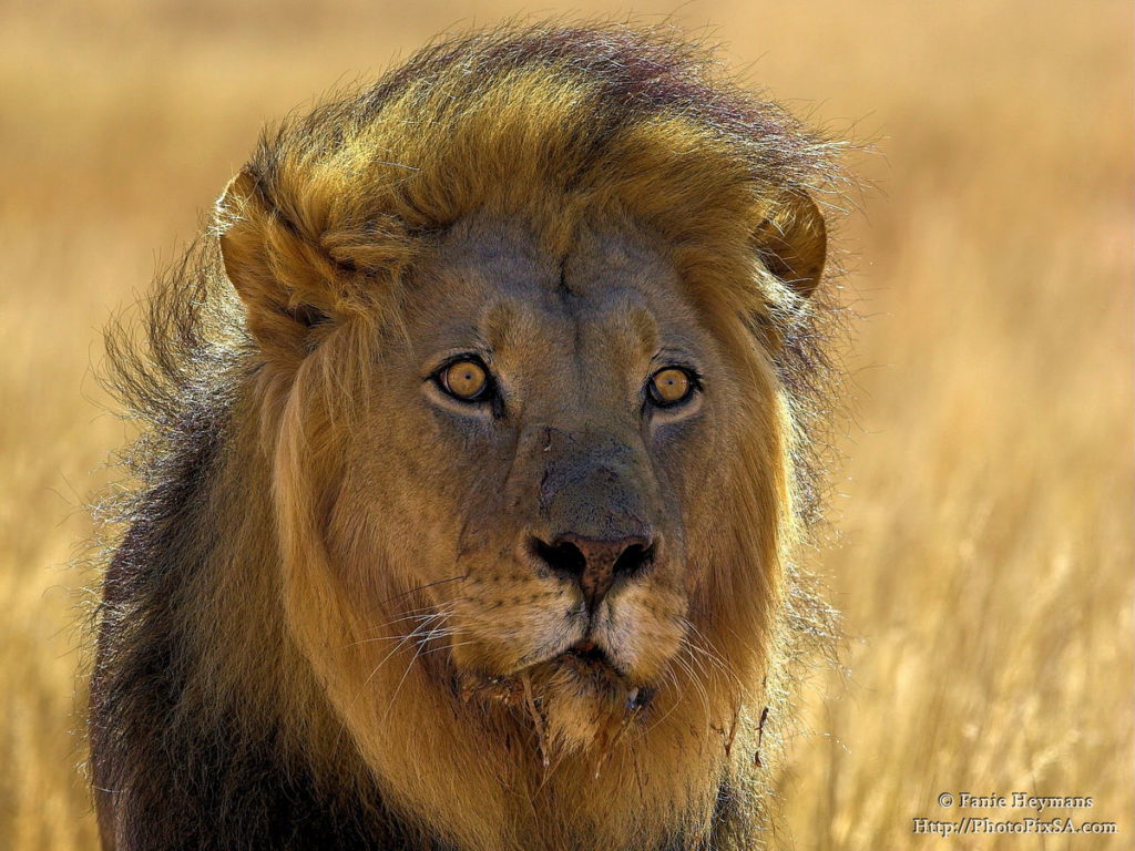 big-kgalagadi-male-lion-portrait-1024x768.jpg